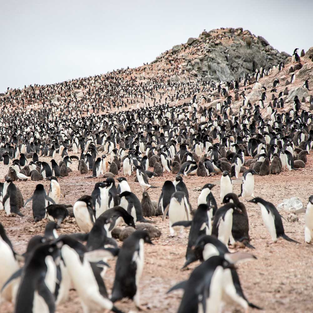Hundreds of thousands of Adelie penguins on the Danger islands, Antarctic peninsula